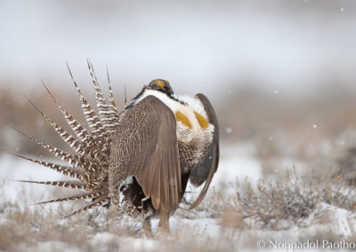 Gunnison Sage Grouse Flying