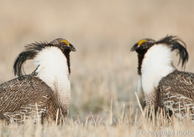 Gunnison Sage Grouse Fighthing