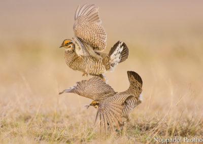 Lesser Prairie Chicken Fighting