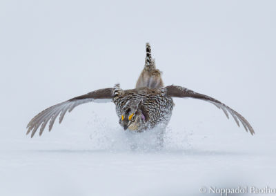 Columbian Sharp-tailed Grouse