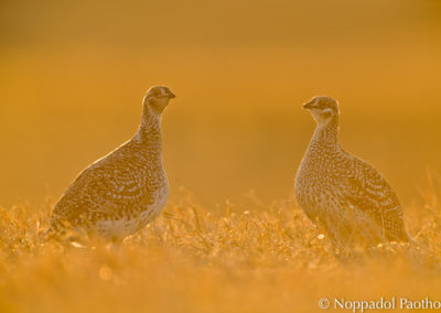 Sharp-tailed Grouse Watching