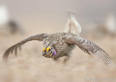 Sharp-tailed Grouse Running