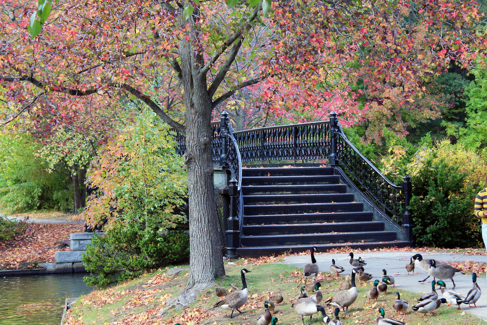 Geese at Roger Williams Park