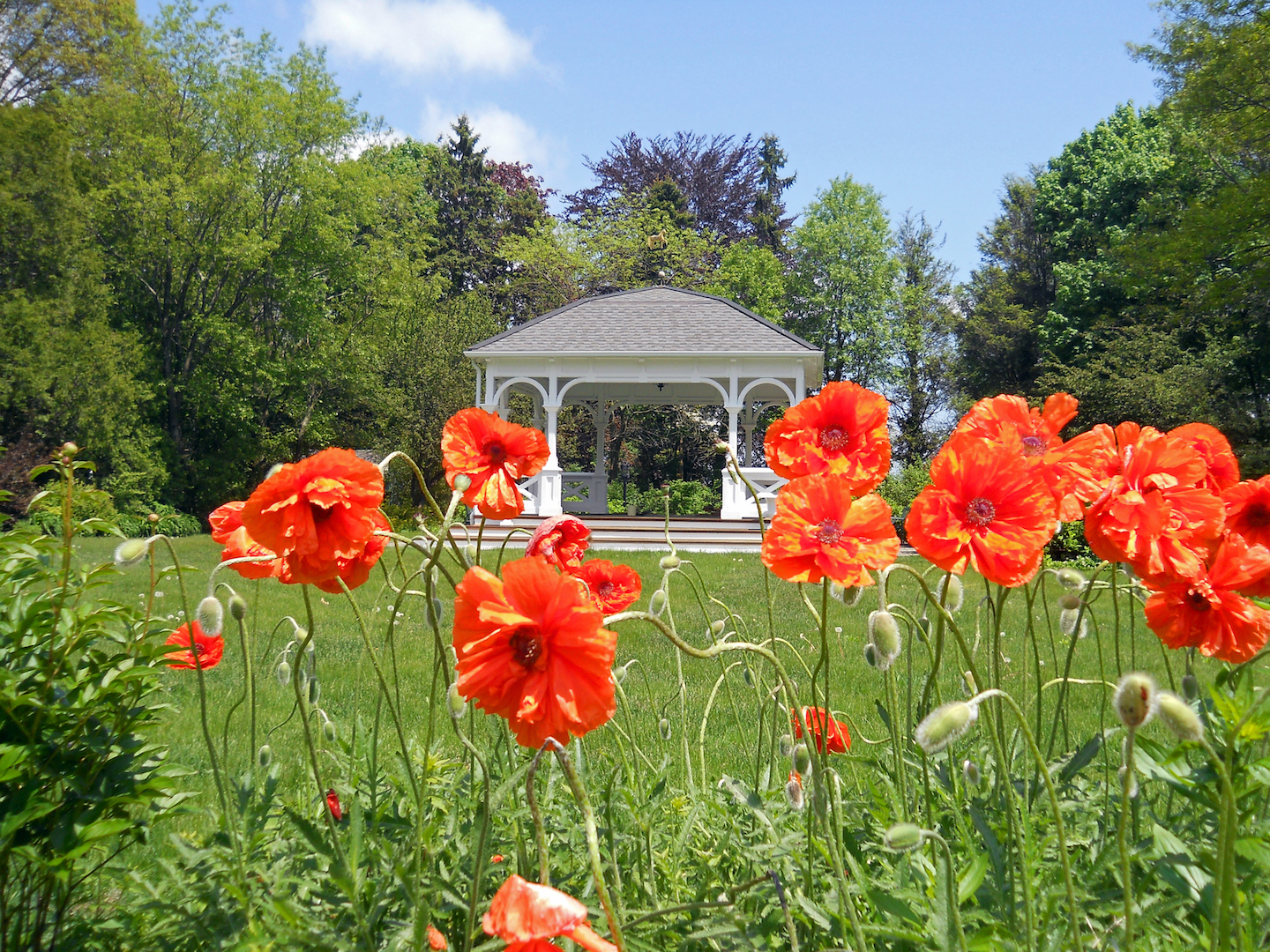 Orange Poppies at Clouds Hill