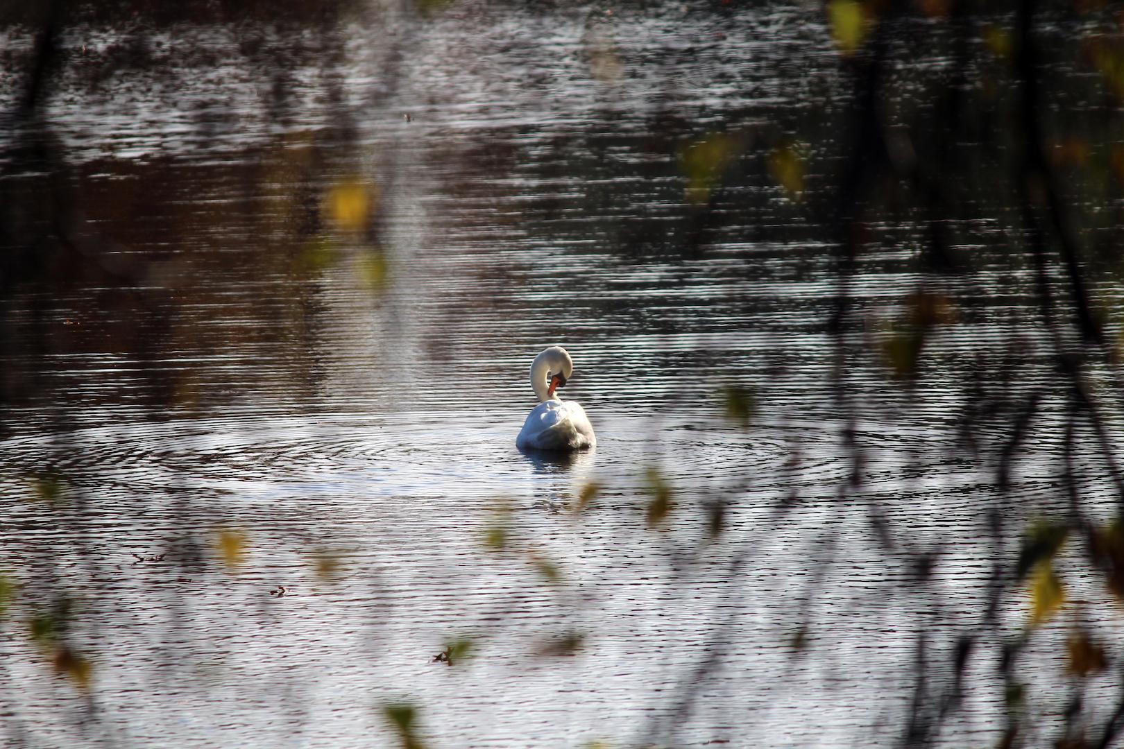 Swan at Meshanticut