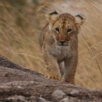 Kenya Baby Lion