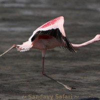 Kenya Flamingo