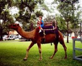Camel ride rental