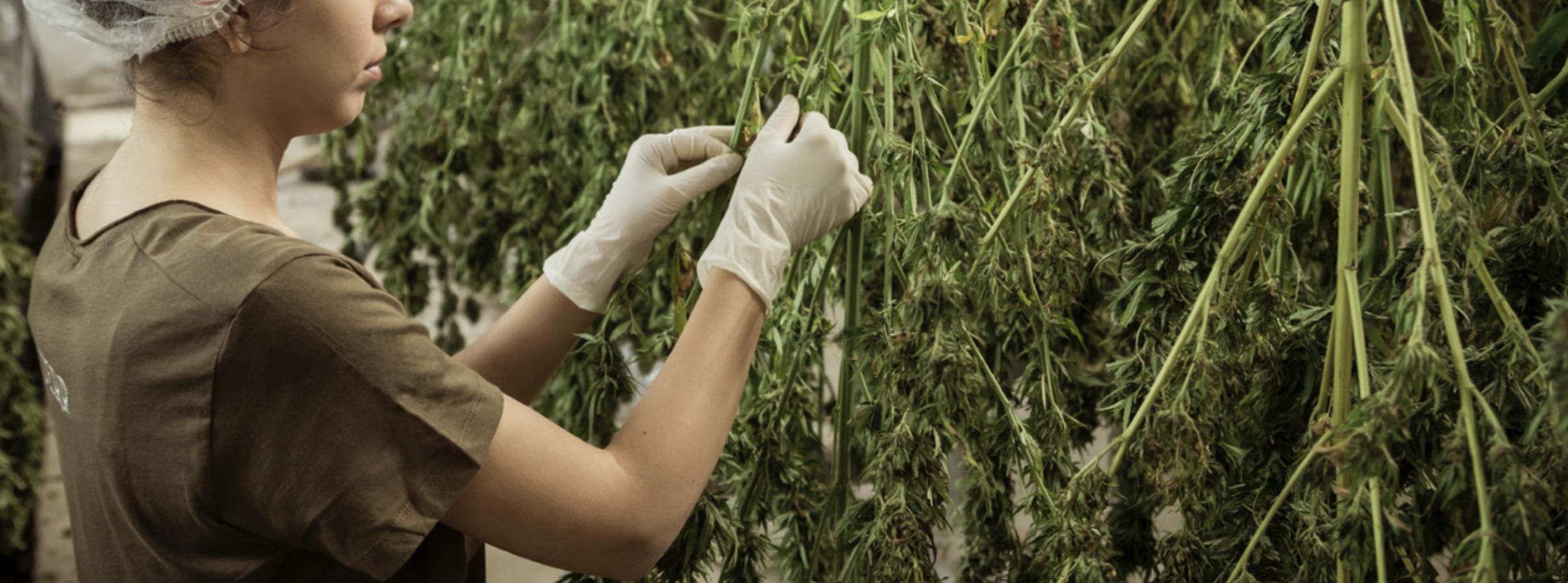 creación de empleo en la industria de cannabis