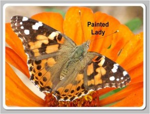 Painted-Lady2-300x229