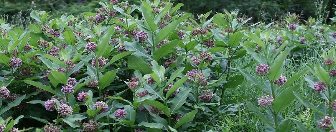Common Milkweed Plants