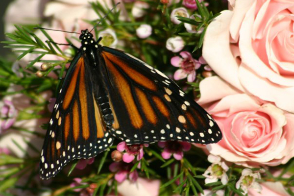 wedding release monarch butterfly
