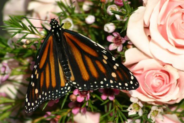 wedding release monarch butterfly