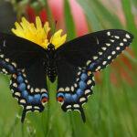 Black Swallowtail Butterfly Jewelry Bead