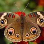 Buckeye Butterfly Jewelry Bead