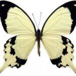 Butterfly Wing Papilio dardanus Earrings