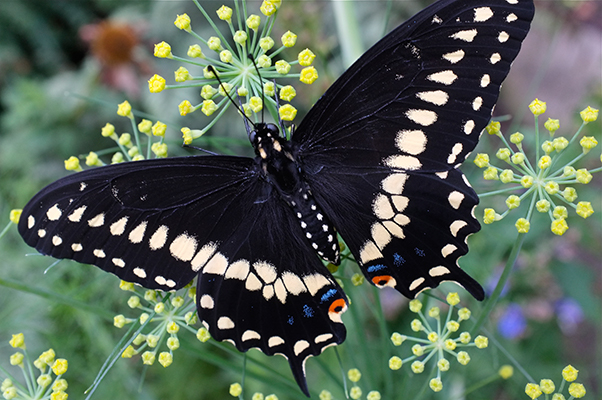 Black Swallowtail Butterfly