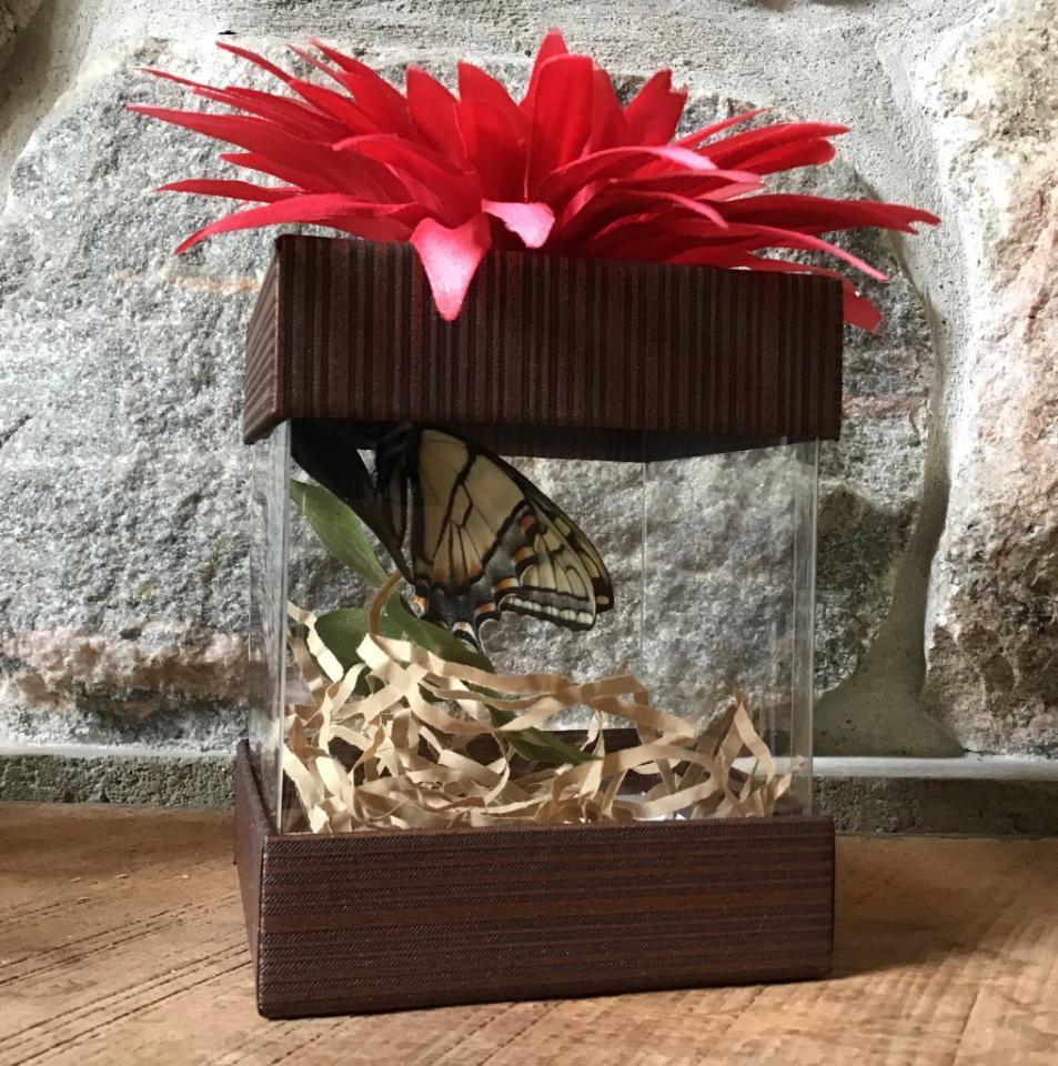 Tiger Swallowtail Pupa – Local Pickup or Ship to Michigan Only