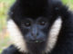 Gibbon at Stone Zoo
