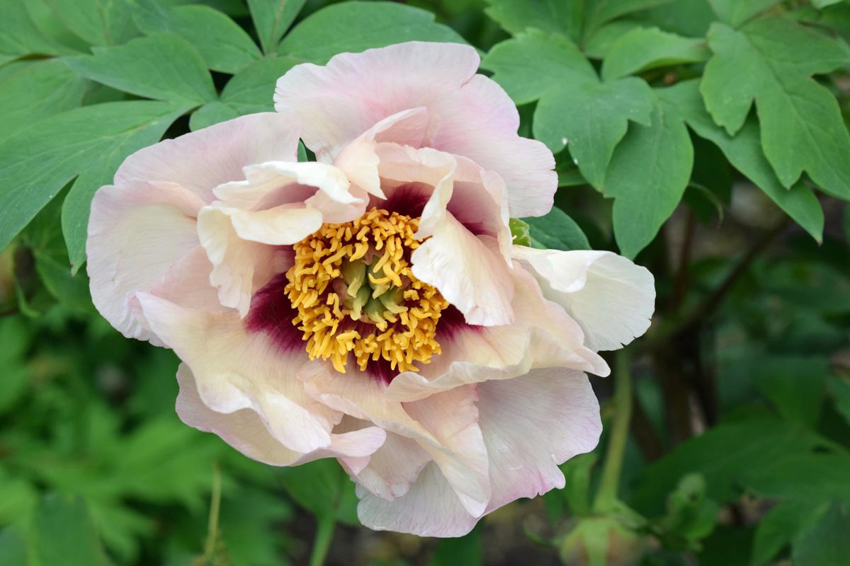 White Lotus Tree Peony