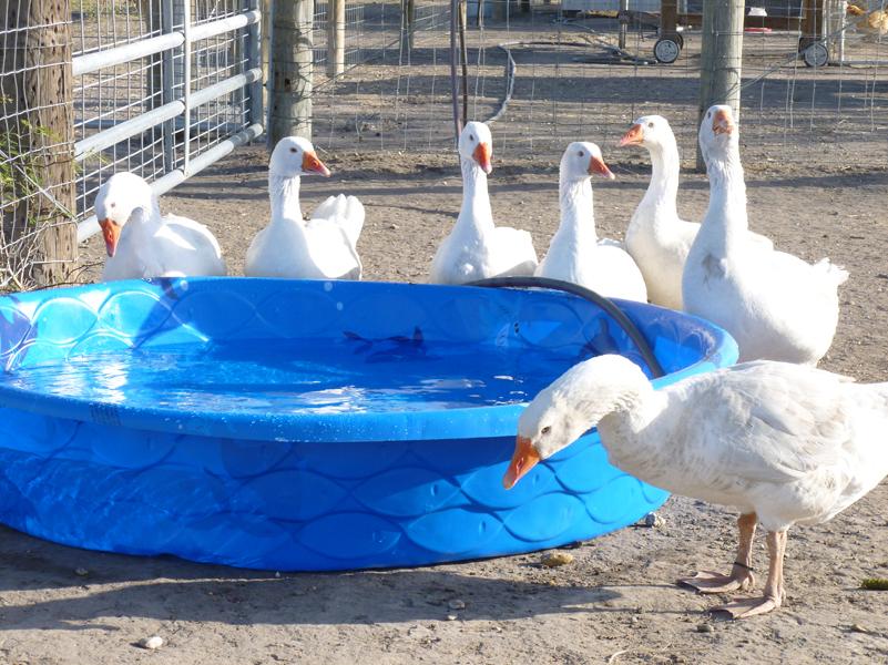 geese-pool