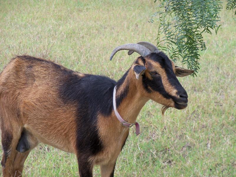 goat-sci-2
