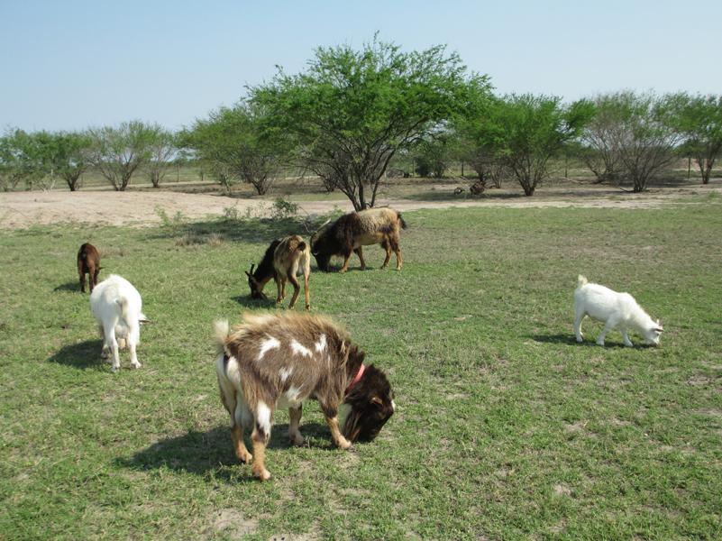goats-males-mix