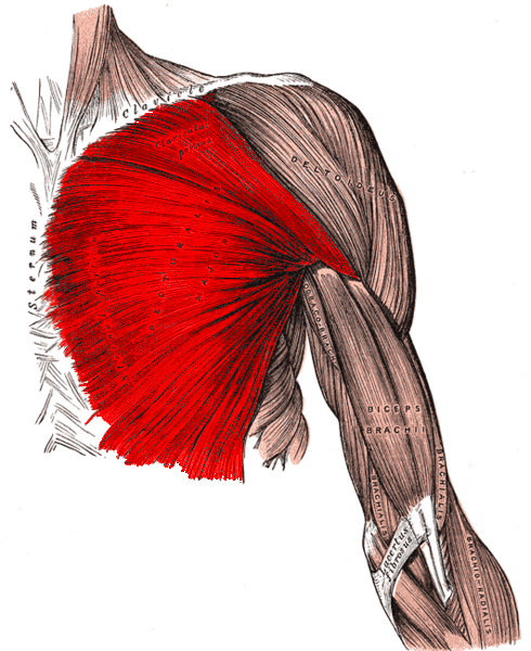 muscles of upper limb