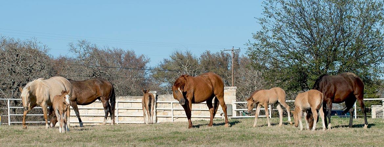 HumphreyQH-theranch-horses