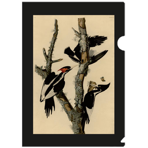 a letter-sized folder with front image of the ivory Billed woodpecker, and the back image of a Downy woodpecker by John James Audubon (1785-1851), a French-American ornithologist, naturalist, hunter and artist, who painted, catalogued and described the birds of North America in the renowned Birds of America, considered one of the greatest examples of book art.