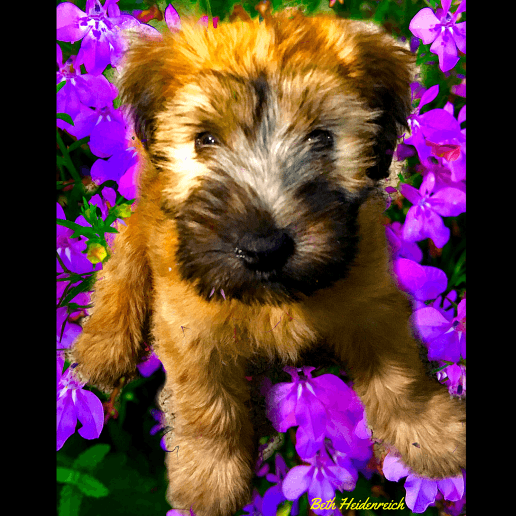 A Cute Picture of Baxter that we Overlayed on Top of a Flower Bed in our Garden, a Green Oasis in Tucson, One of the Top U.S. Cities for Man's Best Friend