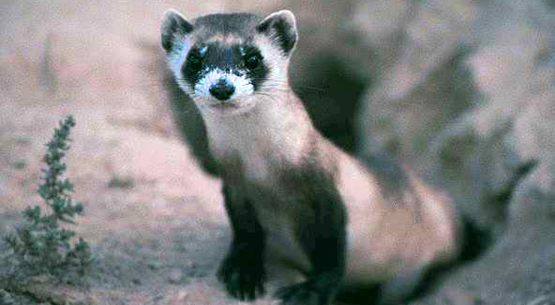 black_footed_ferret