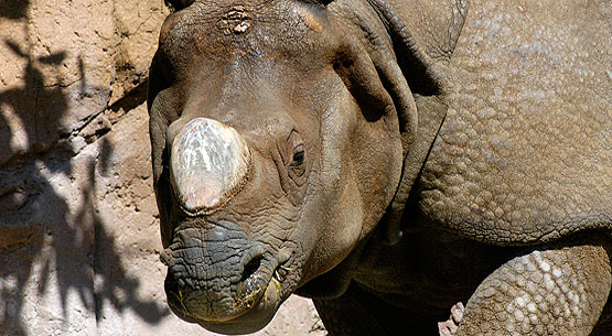 indian_one_horned_rhino