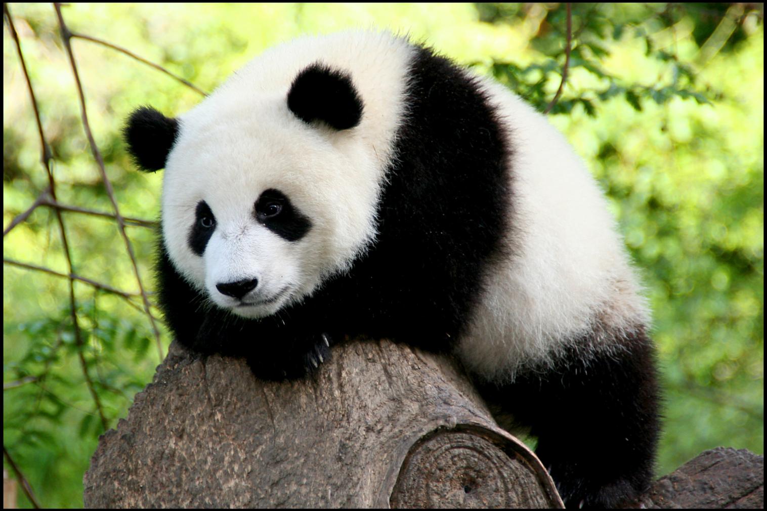 Panda For The Global Corner