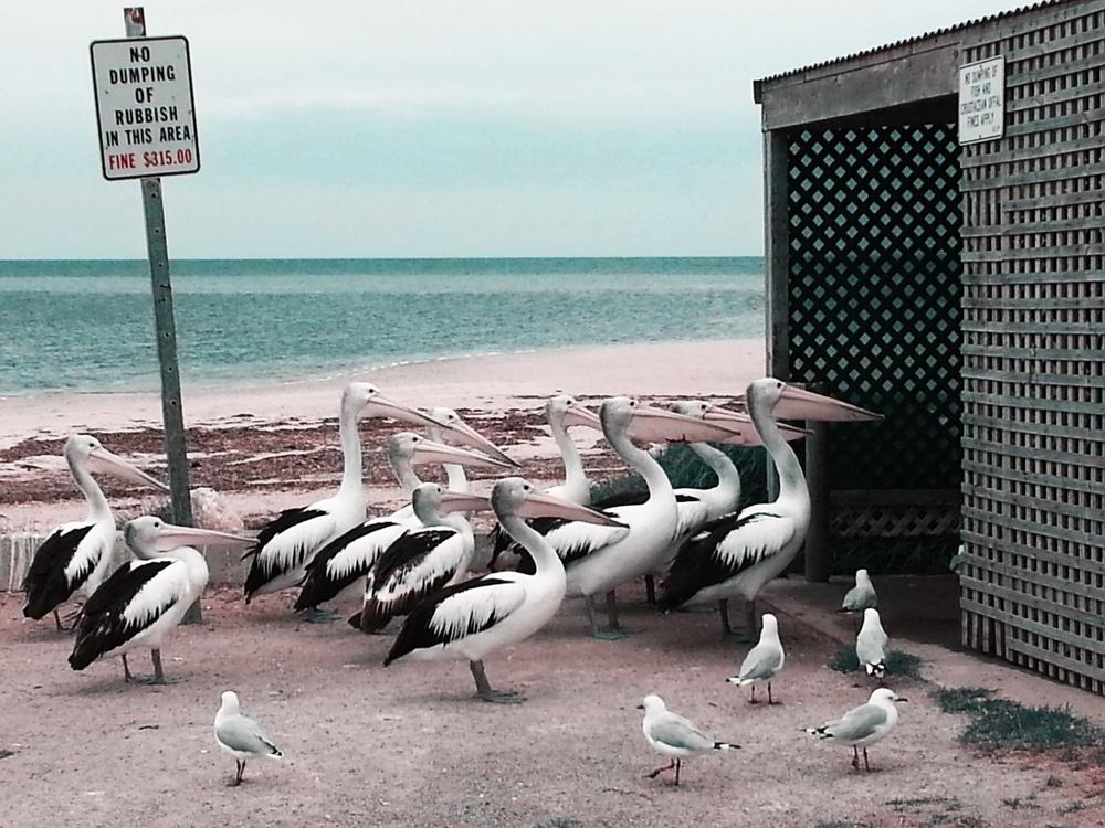 """Pelican Feeding"", que concorre na categoria Natureza e Vida Selvagem. | Foto: Melissa Little"