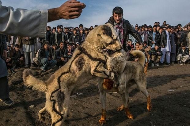 Afegãos promovem tradicional rinha de cães em Cabul. O esporte, que havia sido banido sob o governo do Talibã, voltou a ser permitido no país.   Foto: Mauricio Lima/The New York Times/POY Latam 2015.