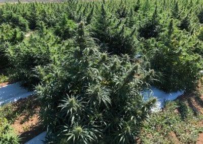 Industrial Hemp CBD flower hemp field
