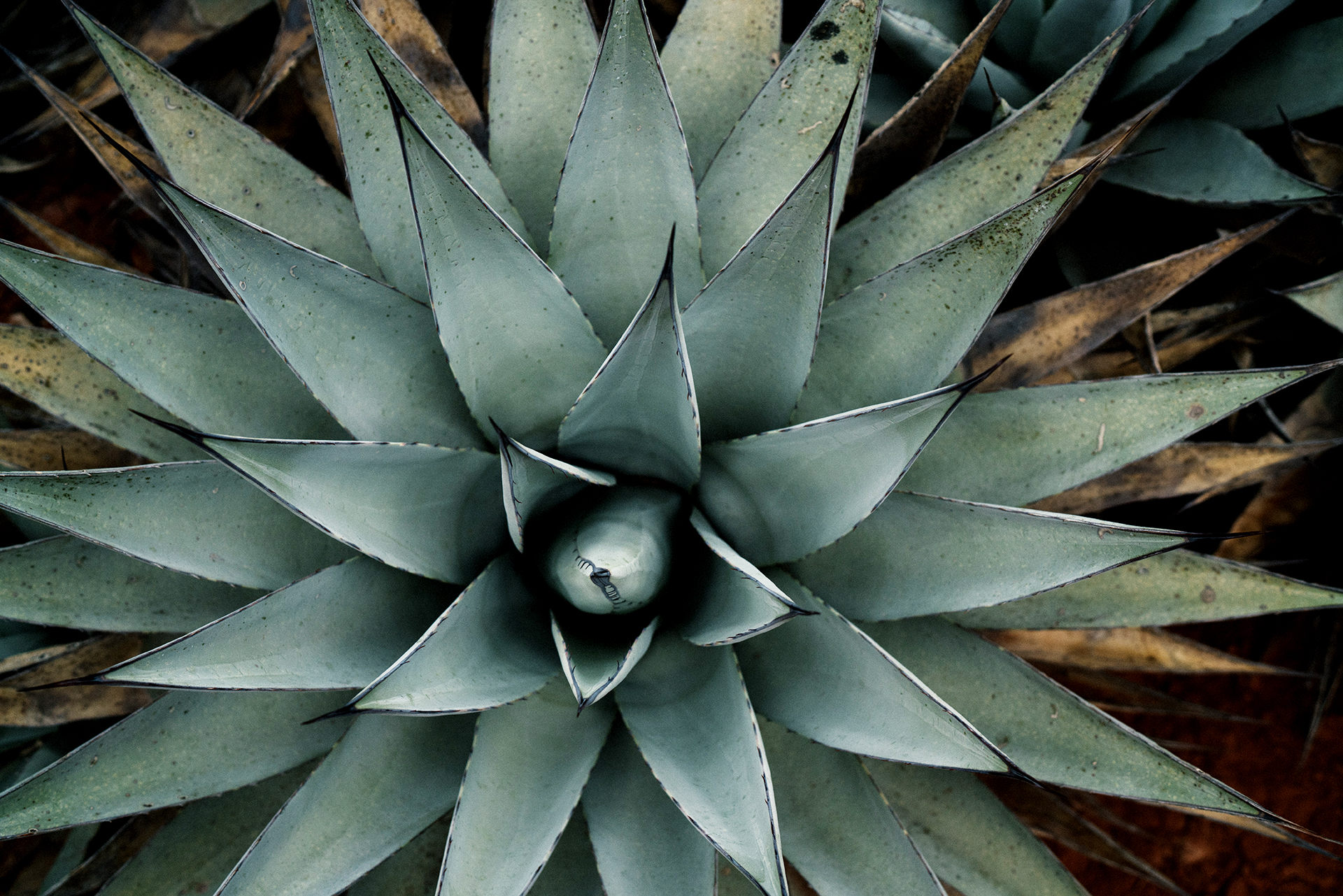 Top down view of blue agave