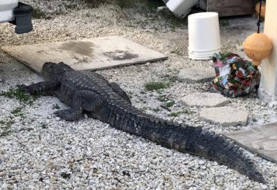 8 Foot Alligator Hiding Under SUV in Little Torch Key