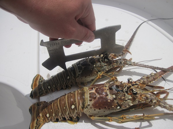 In the photo, Deputy Hager measures a lobster that is obviously short of the required size.