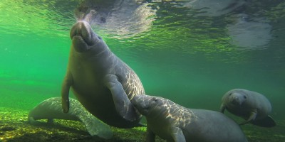 Florida Manatees Get Scrooged for the Holidays