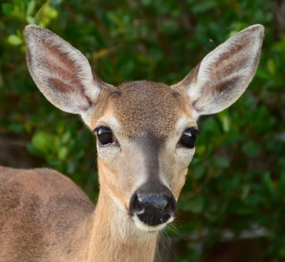 Key Deer Population Makes it Through Another Major Incident