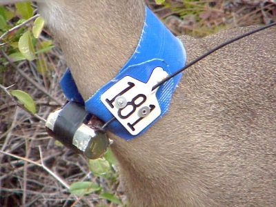 Radio-Collaring of Key Deer to Begin Soon
