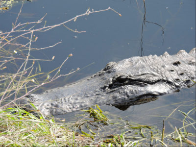 FWC Provides Tips for Living with Alligators