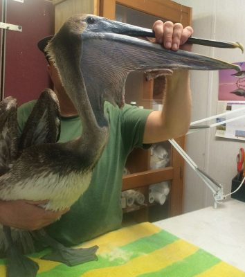 "crew of ""Double Down"" for spotting and rescuing this juvenile Brown Pelican with a severe pouch tear! — with Double Down Sportfishing."