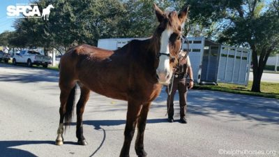 Abused Horse Finds New Home in Key West