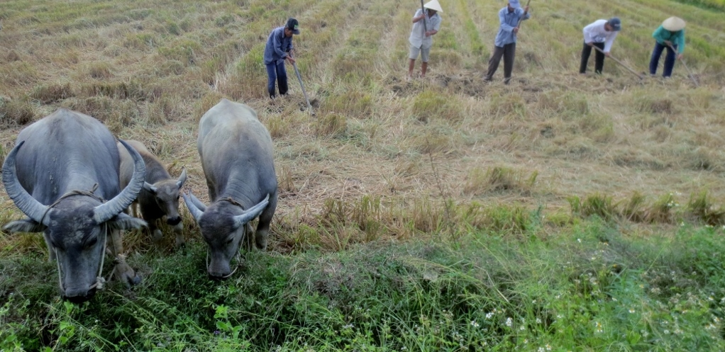 Photo Essay:  Rural Vietnam — Cue the Water Buffalo, Stage Right
