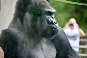 Gorilla St. Louis Missouri Zoo