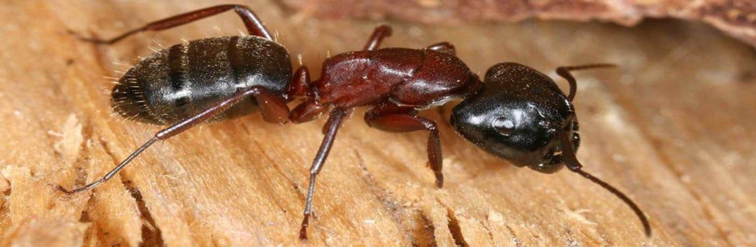 Termite Inspection Houston - Large Carpenter Ant