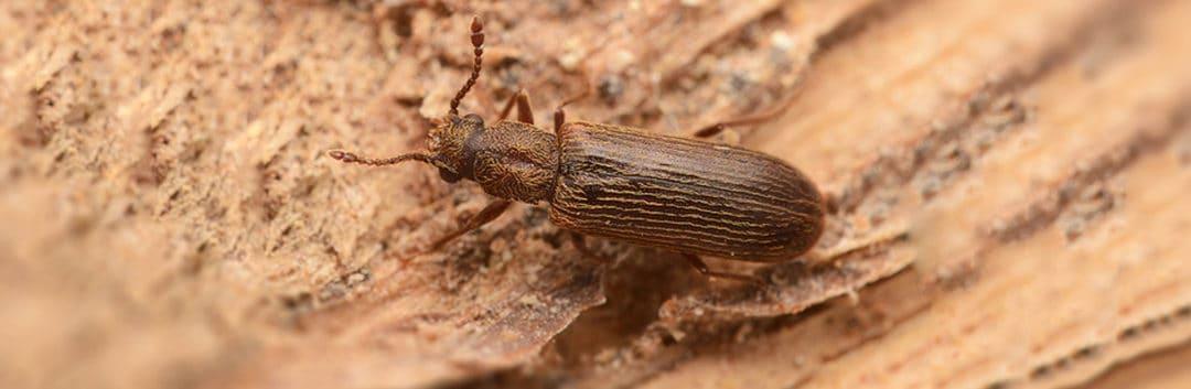 Termite Inspection Houston - Powder Post Beetle